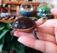 黄缘龟安缘龟(龟苗,亚